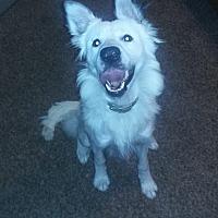 Adopt A Pet :: Kong - Allen, TX