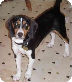 Beagle Mix Puppy for adoption in Waldorf, Maryland - Molly Anne Arundel