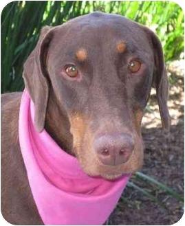 Doberman Pinscher Dog for adoption in San Diego, California - Pascal