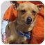Photo 2 - Chihuahua Mix Dog for adoption in Spring Valley, California - Rusty