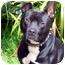 Photo 4 - Cattle Dog/American Pit Bull Terrier Mix Dog for adoption in Berkeley, California - Rupert