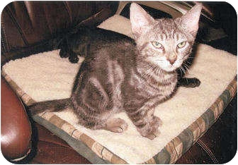 Domestic Shorthair Kitten for adoption in Colmar, Pennsylvania - Mork