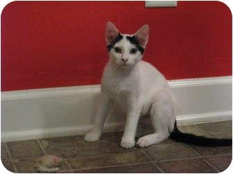 Domestic Shorthair Cat for adoption in Harrisburg, North Carolina - Joan Jett