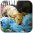 Photo 2 - Labrador Retriever Mix Puppy for adoption in Brewster, New York - Dakota