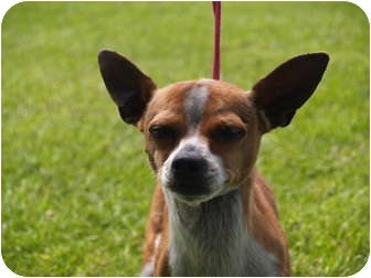 Chihuahua Mix Dog for adoption in El Cajon, California - Alfie
