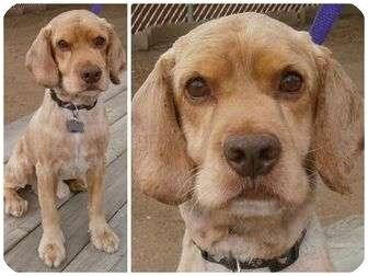 Cocker Spaniel Dog for adoption in San Diego, California - Spike