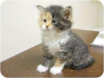 Domestic Mediumhair Kitten for adoption in Morden, Manitoba - Lizzy