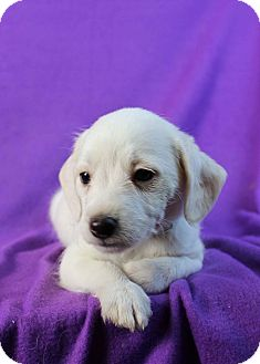 Poodle (Miniature)/Dachshund Mix Puppy for adoption in Westminster, Colorado - Pinky