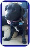Beagle/Dachshund Mix Puppy for adoption in Hagerstown, Maryland - Jesse