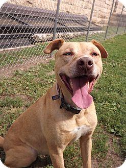 Labrador Retriever/Mountain Cur Mix Dog for adoption in Fort Riley, Kansas - Nova