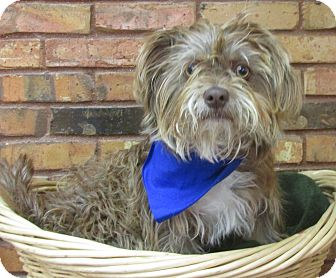 Terrier (Unknown Type, Small) Mix Dog for adoption in Benbrook, Texas - Murphy