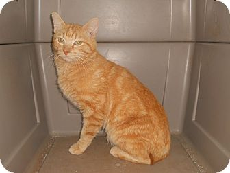 American Bobtail Cat for adoption in Simpsonville, South Carolina - Steve