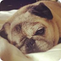Adopt A Pet :: Petunia - Middlesex, NJ