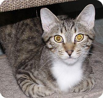 Domestic Shorthair Cat for adoption in Westminster, California - Bertram