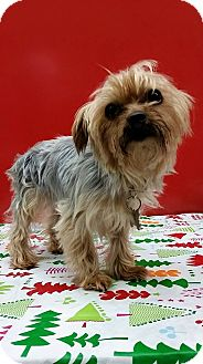 Yorkie, Yorkshire Terrier Mix Dog for adoption in Detroit, Michigan - Reese-Adopted!