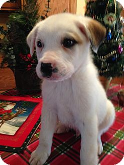 Great Pyrenees Mix Puppy for adoption in Savannah, Tennessee - Snowdrift