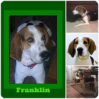 Treeing Walker Coonhound Dog for adoption in Findlay, Ohio - Franklin