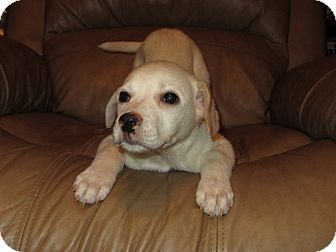 Labrador Retriever Mix Puppy for adoption in Spring Valley, New York - Shay