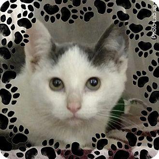 Domestic Shorthair Kitten for adoption in Pueblo West, Colorado - Ginger
