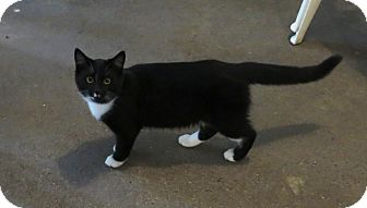 Domestic Shorthair Cat for adoption in Geneseo, Illinois - Flopsy