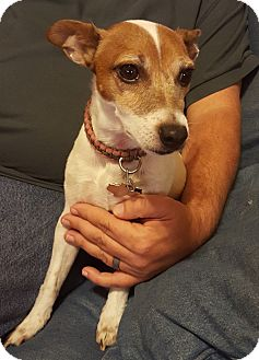 Jack Russell Terrier Mix Dog for adoption in Austin, Texas - Maci In Dallas, Texas