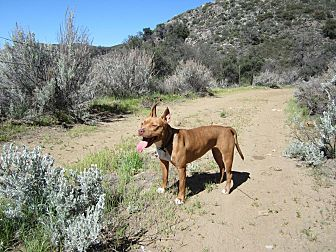 American Pit Bull Terrier Mix Dog for adoption in Nuevo, California - Auggie