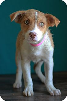 Australian Shepherd Mix Puppy for adoption in Waldorf, Maryland - Viola