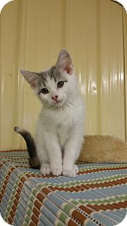 Domestic Shorthair Kitten for adoption in Baudette, Minnesota - JOSIE WALES