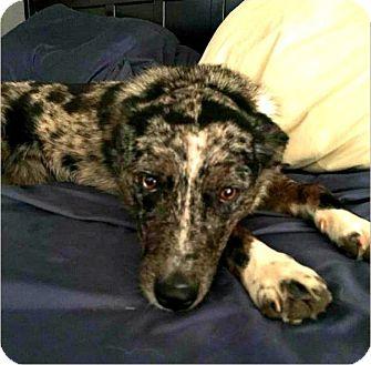 Australian Shepherd/Catahoula Leopard Dog Mix Puppy for adoption in Riverside, California - Aggie