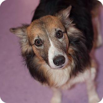 Sheltie, Shetland Sheepdog/Corgi Mix Dog for adoption in New Martinsville, West Virginia - Buddy