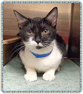 Domestic Shorthair Cat for adoption in Marietta, Georgia - JERRY