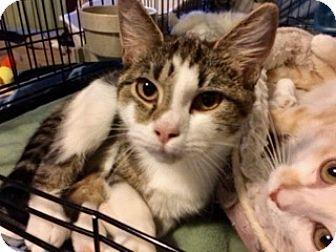 Domestic Shorthair Kitten for adoption in Colmar, Pennsylvania - Marbles