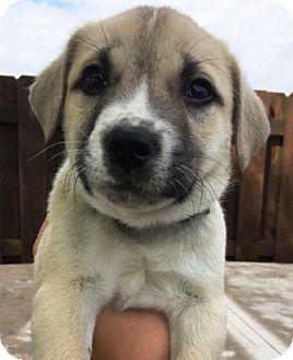 """Australian Shepherd/Boxer Mix Puppy for adoption in Oswego, Illinois - Adorables """"Alex"""""""