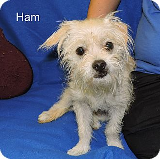 Schnauzer (Miniature) Mix Dog for adoption in Slidell, Louisiana - Ham
