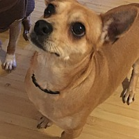 Chihuahua Mix Dog for adoption in White Settlement, Texas - Princess