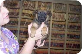 Shepherd (Unknown Type) Mix Puppy for adoption in Groveland, Florida - Dewey
