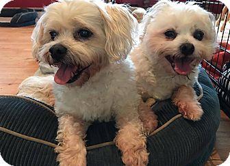 Maltese/Poodle (Miniature) Mix Dog for adoption in Smithtown, New York - Fabrizio