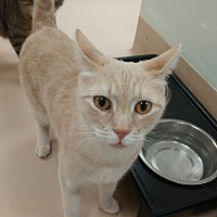 Domestic Shorthair Cat for adoption in Walden, New York - Moogle