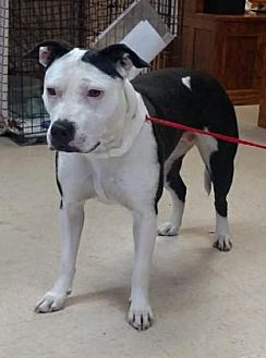American Pit Bull Terrier Mix Dog for adoption in Ashtabula, Ohio - Braylee