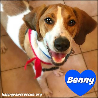 Treeing Walker Coonhound Mix Dog for adoption in South Plainfield, New Jersey - Benny