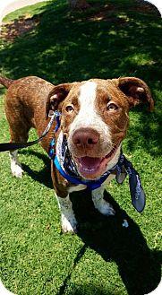 Australian Cattle Dog Mix Dog for adoption in Wichita Falls, Texas - Dexter