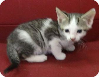 Domestic Shorthair Kitten for adoption in Olive Branch, Mississippi -