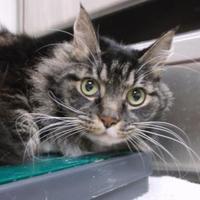 Adopt A Pet :: Sarg - Williamsport, PA