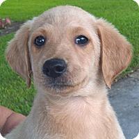 Adopt A Pet :: Fudgetta#1F - Orlando, FL