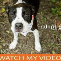 American Pit Bull Terrier Mix Dog for adoption in Independence, Missouri - Tiger