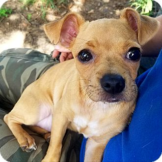 Chihuahua/Pug Mix Puppy for adoption in Lawrenceburg, Tennessee - Bug