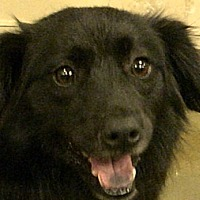 Flat-Coated Retriever/Labrador Retriever Mix Dog for adoption in Newnan, Georgia - Betsy Bug