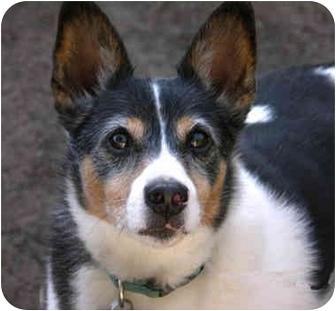 Rat Terrier Dog for adoption in Concord, California - Waldo