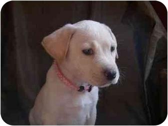 Labrador Retriever Mix Puppy for adoption in San Diego, California - PUPPY BUTTERCUP
