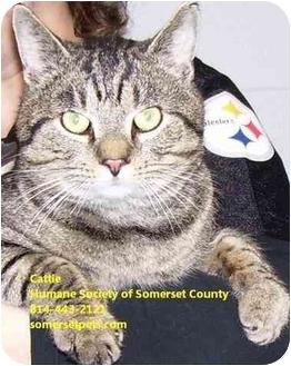 Domestic Shorthair Cat for adoption in Somerset, Pennsylvania - Cattie